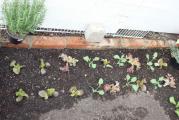 Garten GWH Salat.jpg