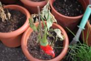 GWH Paprika erfroren.jpg
