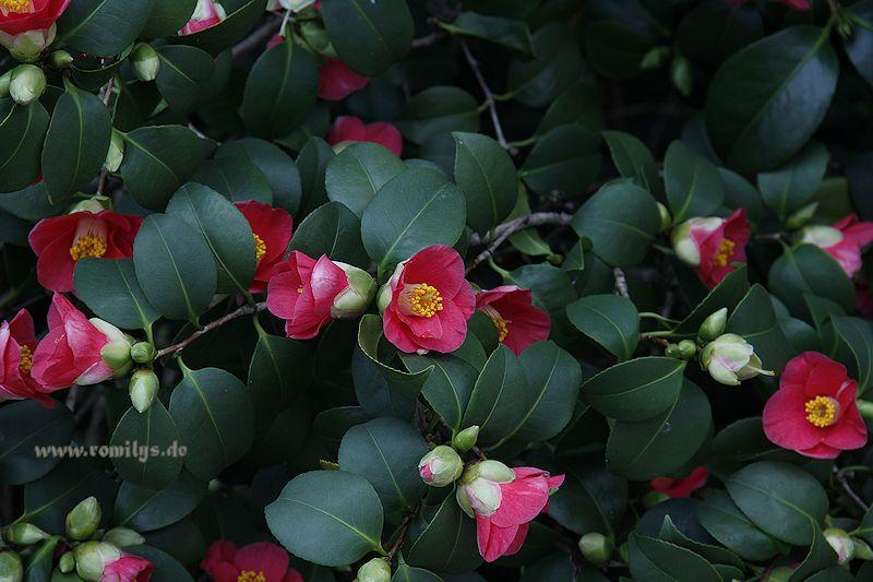 Camellia - Kamelien - Seite 2 F24t963p36923n7