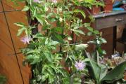 Passiflora incarnata 1.jpg