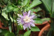 Passiflora incarnata 2.jpg