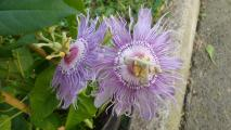 passiflora inc.jpg