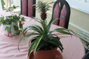 Ananas 2011.jpg
