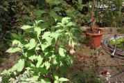 Fuchsie boliviana luxurian alba 1.jpg