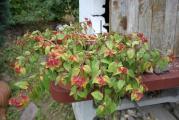 Fuchsia Autumnale.jpg