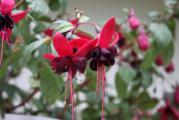 Fuchsia Blacky.jpg