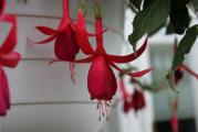 Fuchsia Red Spider.jpg