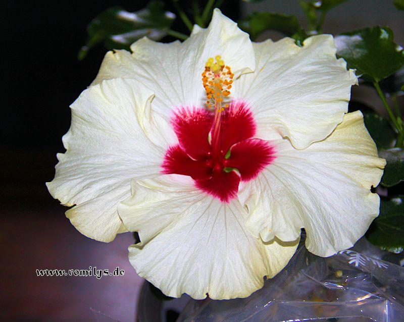 Hibiscus - alle Arten, Zuchtformen ... Erfahrungsberichte, Aussaat und selbstverständlich Bilder :) - Seite 9 F95t3876p46046n2