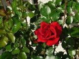 rosen3.JPG