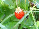 Erdbeere1.JPG