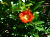 Granatapfelblüte.JPG