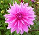 Dahlia rosa12.jpg