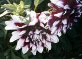 Dahlie lila-weiß1.jpg