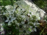 Allium nigrum 1.JPG