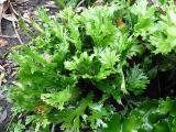 Phyllitis scolopendrium Cristatum (2).JPG