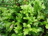 Phyllitis scolopendrium Cristatum (4).JPG