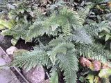 Polystichum set. plumosum Densum.JPG