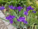 k-Blauzwerg 16.05.18 030.jpg