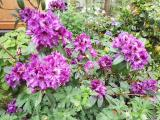 k-Purple Splendour 16.05.18 081.jpg
