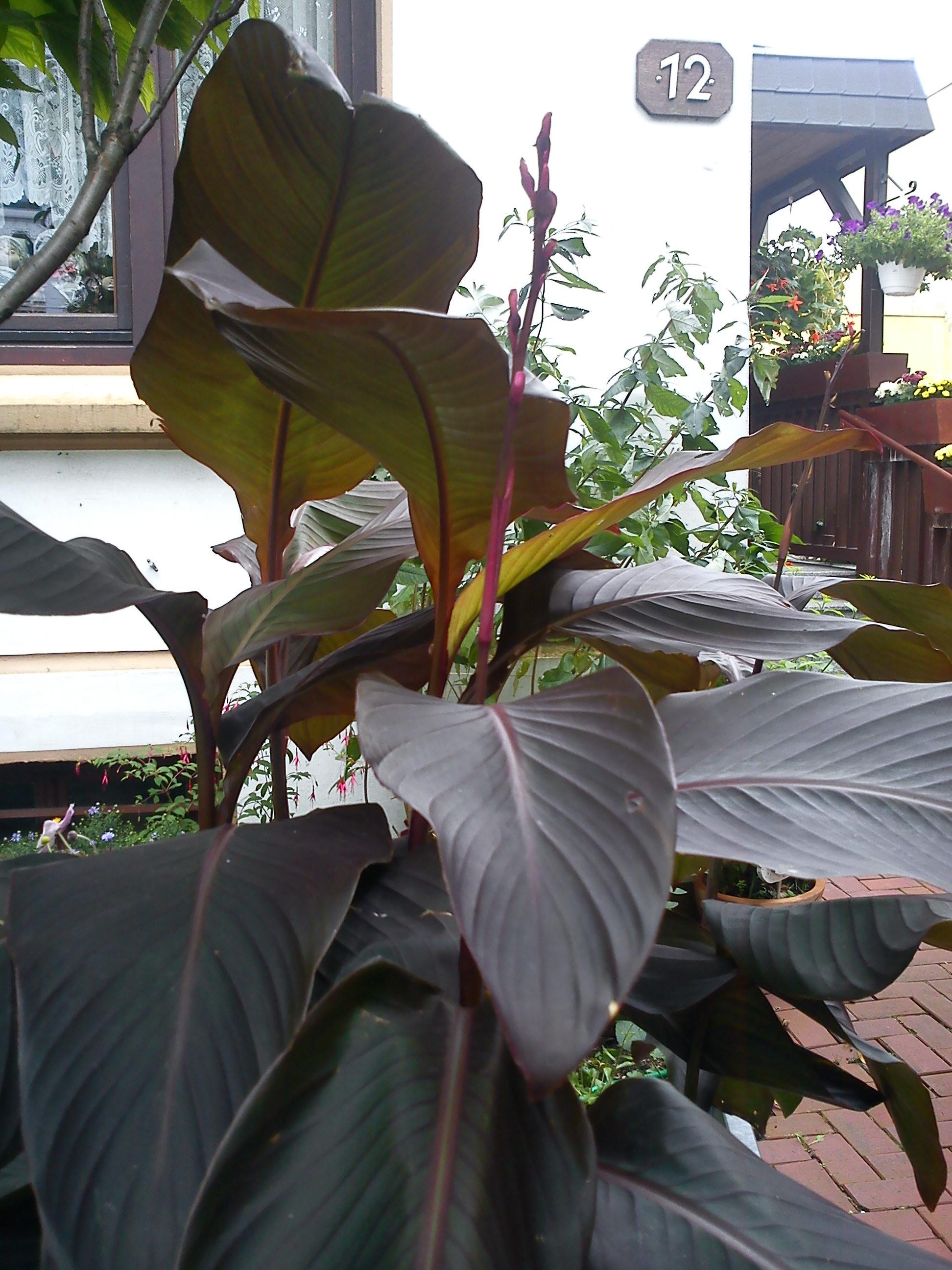 k bel und zimmerpflanzen was f r eine pflanze ist das canna. Black Bedroom Furniture Sets. Home Design Ideas