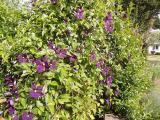 k-Etoile de Violette 11.06.17 038.JPG