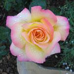 rosen allgemein rosen nach farben mehrfarbige rosen. Black Bedroom Furniture Sets. Home Design Ideas