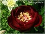 Buckeye Belle.jpg