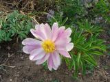 k-Päonie ungefüllt rosa 2011.JPG