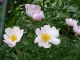 Paeonia Nymphe (2).JPG