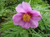 Paeonia veitchii (4).JPG