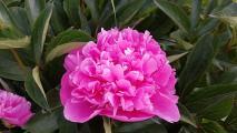 k-Päonie pink 20200522_200546.jpg