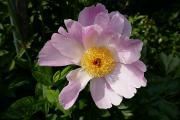 Paeonia Nymphe.JPG