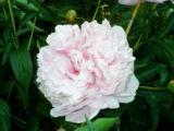 rhodedendron rose.jpg