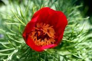 St_Paeoniatennifolia270407.jpg