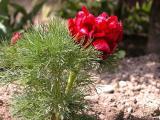 tenufolia2.JPG