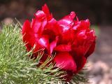 tenufolia.JPG