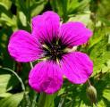 Geranium psilostemon 4.6.10.jpg