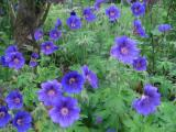Geranium Blue Blood.jpg