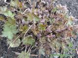 Geranium wlassovianum Zellertal.JPG