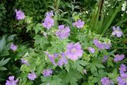 Geranium gracile Sirak.JPG