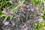 Geranium pratense Midnight Reiter (2).JPG