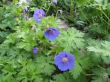 Geranium Johnsons Blue.JPG