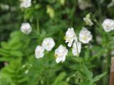 Geranium phaeum alba.JPG