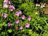 G. gracilis x ibericum_Sirak_Ga_824.JPG