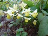 Epimedium versicolor Sulphureum.JPG