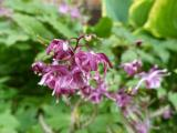 Epimedium grand. Lilafee.JPG