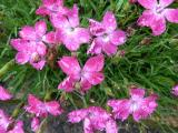 Dianthus Kahori.JPG