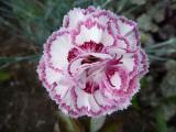Dianthus plumarius Gran`s Favourite.JPG