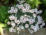Dianthus grati. Starry Eyes.JPG