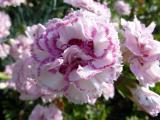 Dianthus plumarius Gran's Favourite (3).JPG